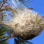 saint-pair-mer-chenilles-nid